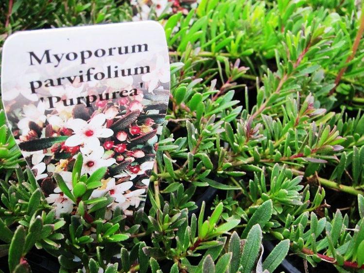 MyoparPu-4