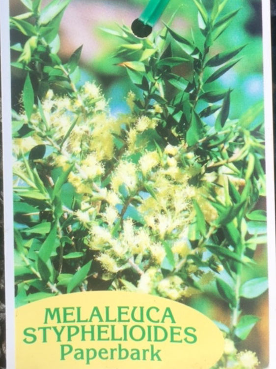 Melsty-6