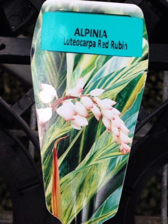 AlplutRR-4